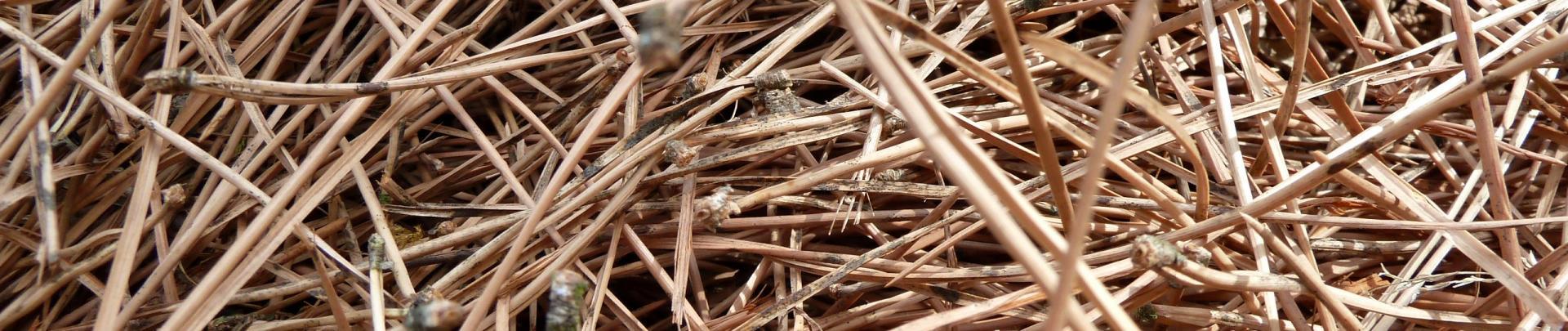 Aiguilles de pins 2